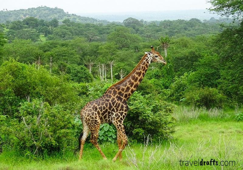 Girafa - um dos Animais da Kissama