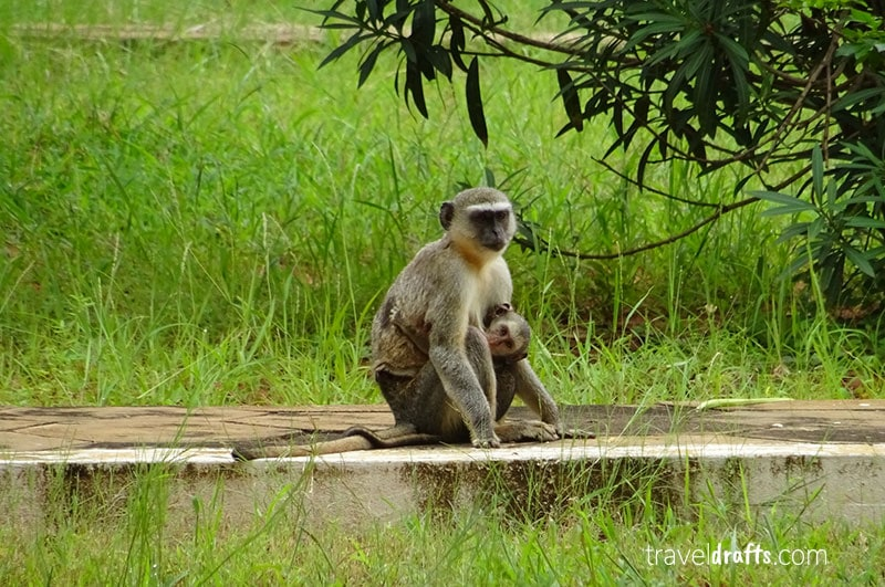 Monkeys - another animal you can see during a Safari in Kissama National Park