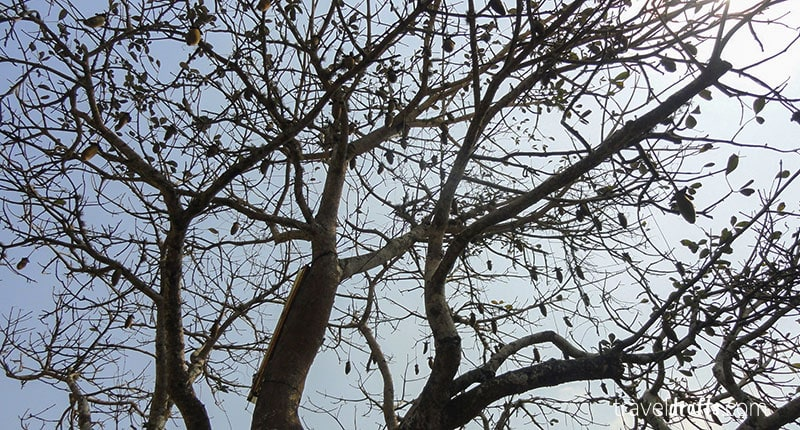 Sobremesas em Angola - árvore da Múkua