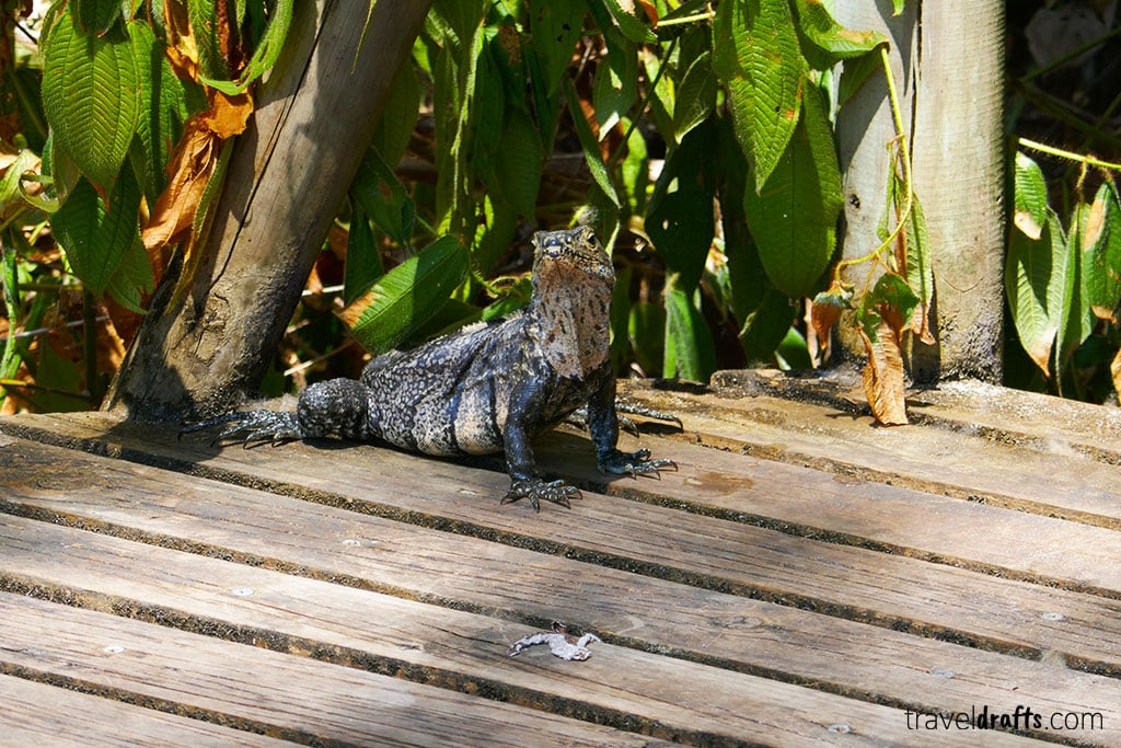 Iguana in Costa Rica 50 Things you need to know before traveling to Costa Rica