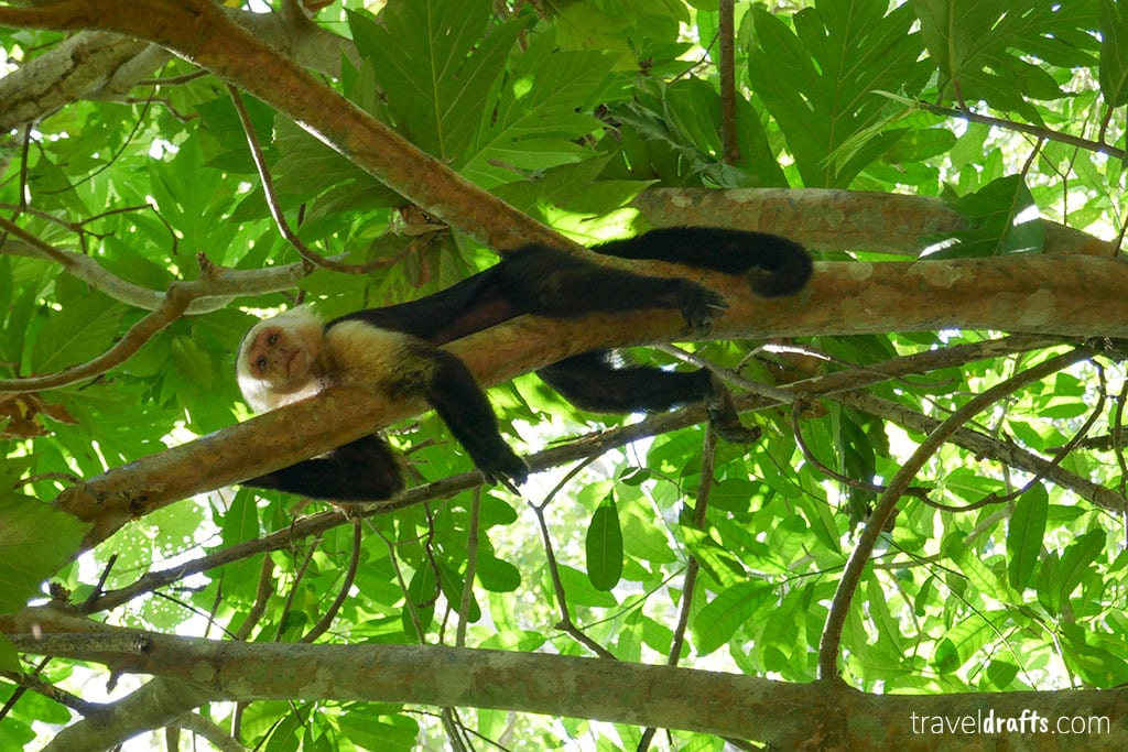 Monkey in Cahuita National Park Costa Rica 4 travel tips that allow you to travel more