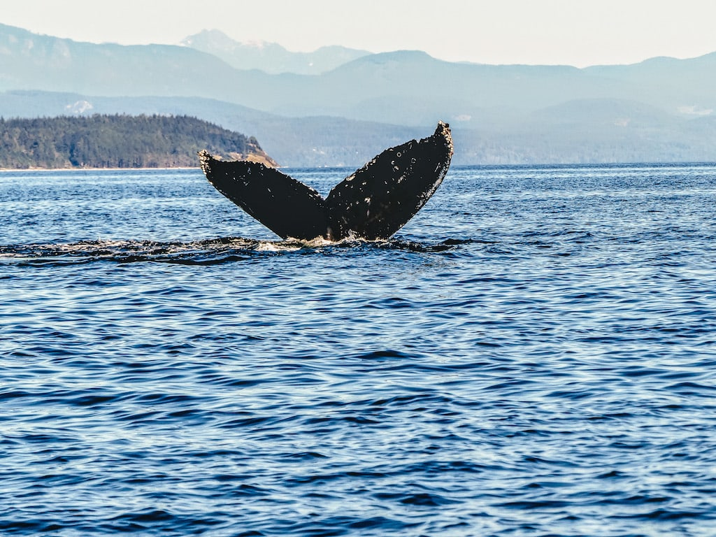 Humpback whale in Canada - What is Canada known for?