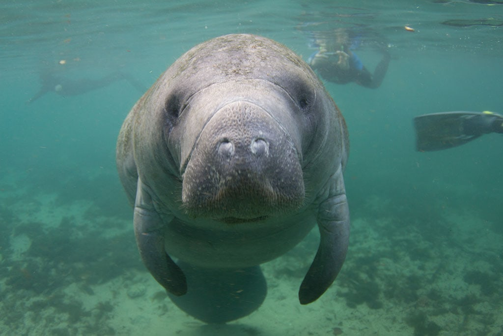 Manatees, one of the things Florida is famous for